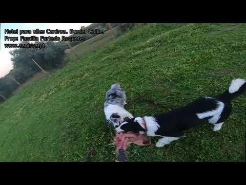 Border Collie no Hotel para Cães Caniroa