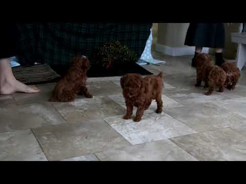 Toy Poodle Puppies For Sale
