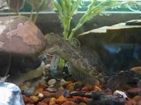 Cottus Asper- Prickly Sculpin Feeding