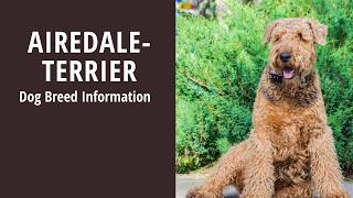 AIREDALE TERRIER dog breed info