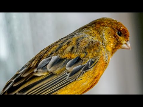 Best live Canary singing  4K video training