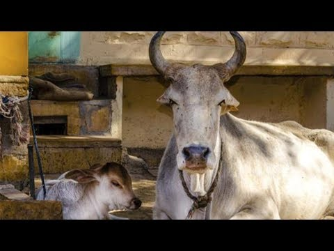 Dealers in Muzaffarnagar ask Centre over ban on cattle sale & purchase