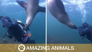 Hungry Sea Lion Tries To Eat Diver