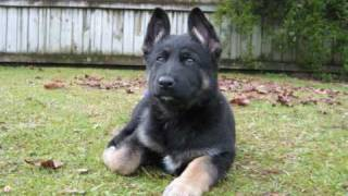 German Shepherd  Puppy - Gemma