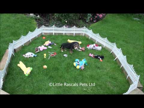 Little Rascals Uk breeders New litter of Beagle puppies - Puppies for Sale UK