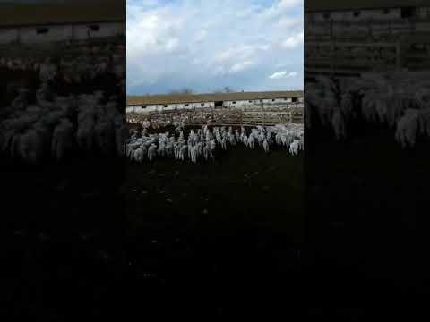 Овцы КФХ Магомедова, Дагестан. Magomedov' Farm From Dagestan