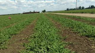 15 июня 2017 г. выращивание арбуза , не повторяйте ошибки