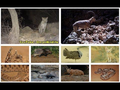 oman wildlife الحياة البرية في سلطنة عمان