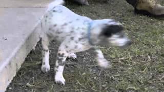 Pound Pets -- Seven Little Dalmations