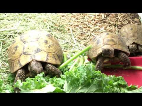 Watch: Golden Greek Tortoise Adults Enjoying Some Kale.  Our Golden Greek Tortoise For Sale Are #1!
