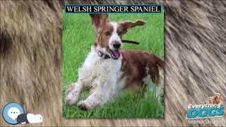 Welsh Springer Spaniel  Everything Dog Breeds