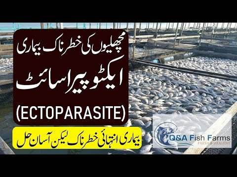 Fish Farming, Fish Disease, Ectoparasite Is A Major Disease, Solution Of Disease. Video 22
