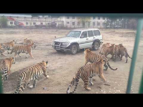 Амурские тигры атаковали машину с туристами/Siberian Tigers hunt turists!!!