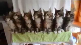 Кошки танцуют,прикол,ржака