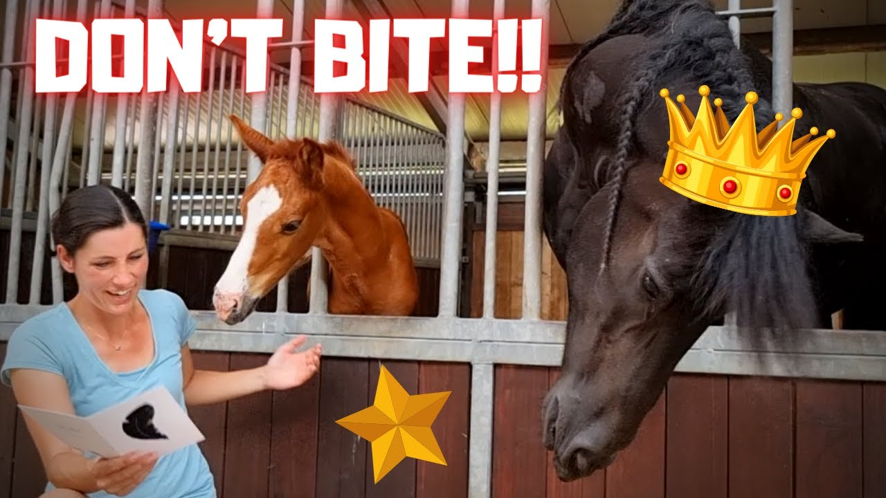 Rising Star JK⭐ is already turning into a real colt!! Bite! And something special! | Friesian Horses