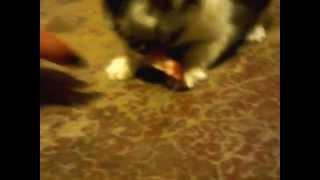 Кто-нибудь скажите ему, что он кот, а не тигренок )))