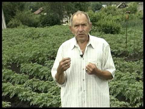 Вопрос: Как спасти картофель, ботву которого поел колорадский жук?
