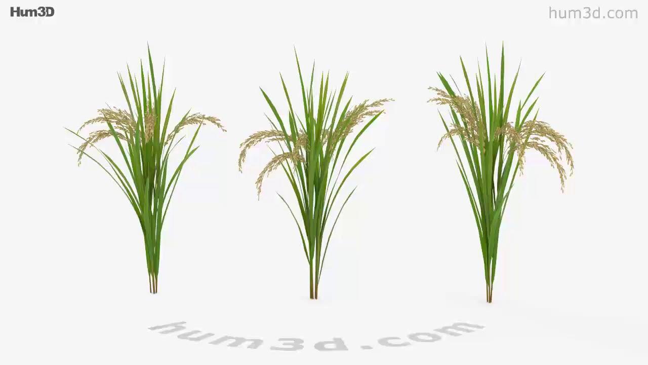 Rice Plant 3D model by Hum3D com