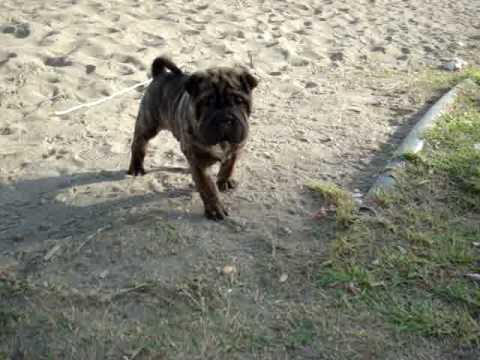 Brindle Shar Pei Puppy Youtube