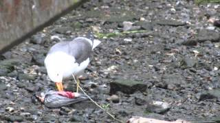 Lesser Black Backed Gull Polishing Off A Pigeon