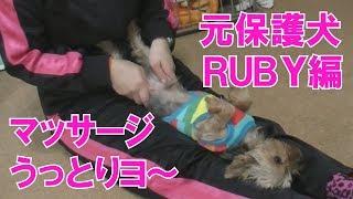 元保護犬ヨーキーのルビーくんをマッサージします、気持ちよさそうにマ...