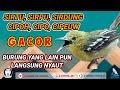 Pancingan Sirtu Cipoh Burung Yang Lain Pun Langsung Nyaut  Mp3 - Mp4 Download