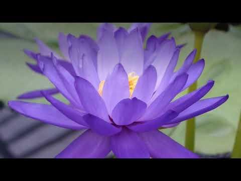 6 Significations Origine Symbole De La Fleur De Lotus Bleu Sacre