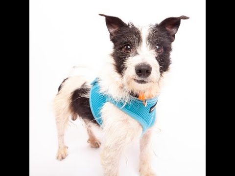 Bumble, a male Parson Russell Terrier mix at Muttville-adopted