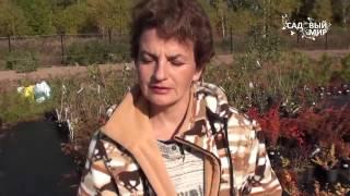 Осенние кустарники для сада. Барбарис Сайт