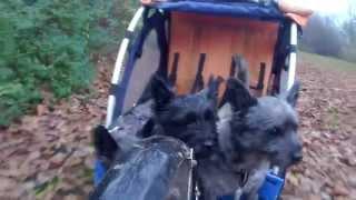 3 Cairn Terrier Der Elsker Køretur Til Og Fra Skoven