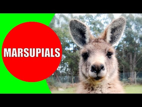 Marsupials for Kids – Marsupial Mammals – Marsupial Animals in Australia, Tanzania, and Americas