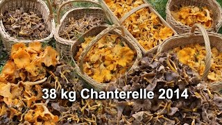 Final 38 Kg Chanterelles 2014  Part 5  With Siberian Husky Lihkku