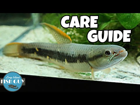 Red Wolf Fish Care Guide!