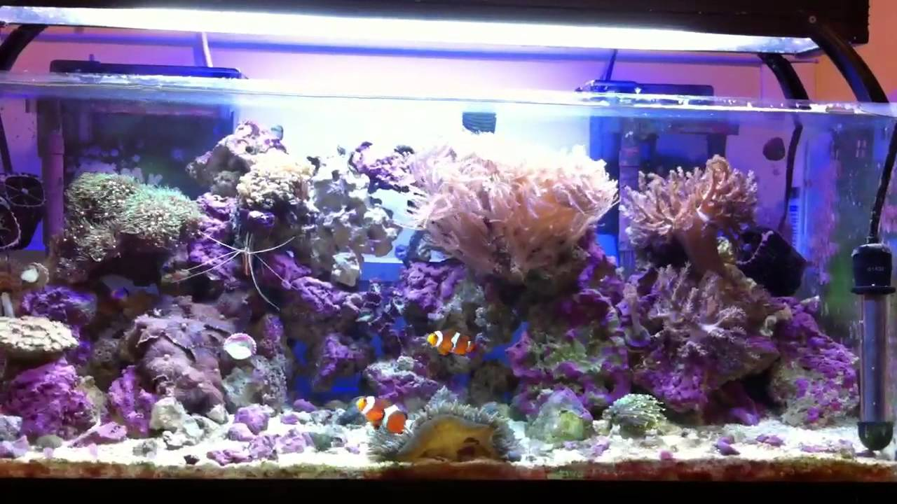 20 gallon long reef tank hd 9 15 2012 youtube for 20 gallon saltwater fish tank