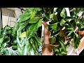 Hoya Houseplant Care Tips & Tricks! | My Hoya Collection!