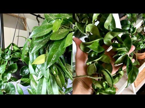 Download Hoya Houseplant Care Tips & Tricks! | My Hoya Collection!