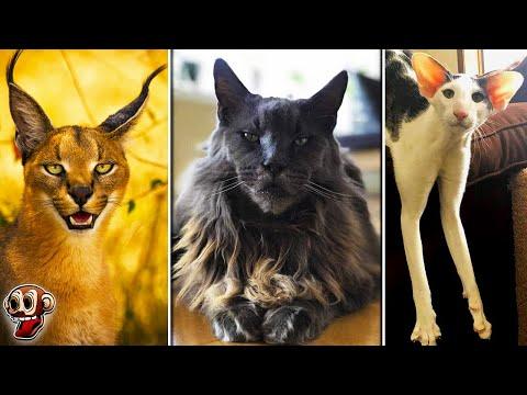 7 Gatos Ms CAROS y RAROS Del Mundo