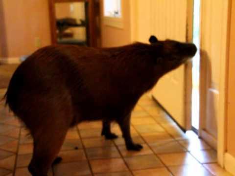 Capybara Opening Doors