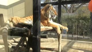 京都市動物園20160127No1 リニューアルされた京都市動物園、広々とした...