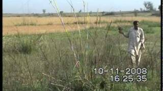 quail hunting with sparrow hawk part 1