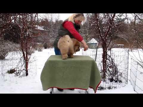 Chow-chow puppy Simauta Dess Dastan 10 weeks