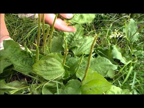 Семена подорожника применение, противопоказание