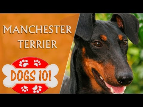 Dogs 101 - MANCHESTER TERRIER - Top Dog Facts About the Manchester Terrier