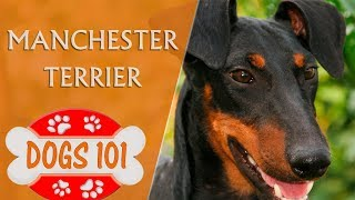 Dogs 101  MANCHESTER TERRIER  Top Dog Facts About the Manchester Terrier