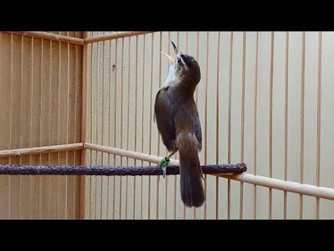 Burung Kerak Basi Master Ngamuk Suara Kasar Youtube