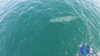 الحوت الأحدب يشكل ألوان قوس قزح في جنوب كاليفورنيا (فيديو)