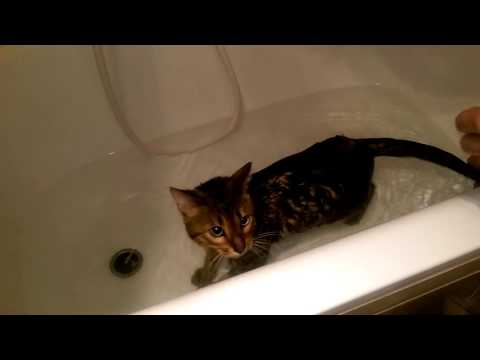 How to Give Your Cat a Bath -Bengal Cat Bandit