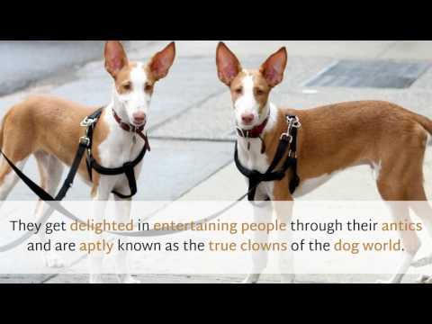 12 Facts You Should Know About Ibizan Hound