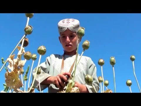 The rise of opium in Afghanistan.BBC Urdu