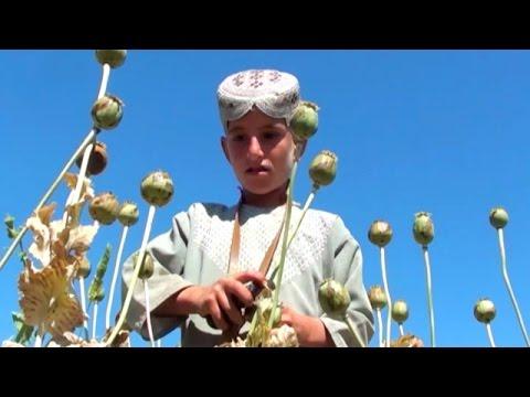 The rise of opium in Afghanistan.BBC Urdu